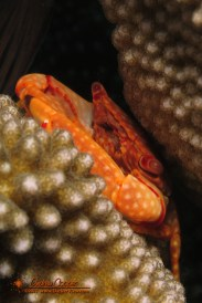 Yellow-spotted Guard Crab