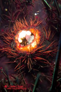 Sea Urchin Crab