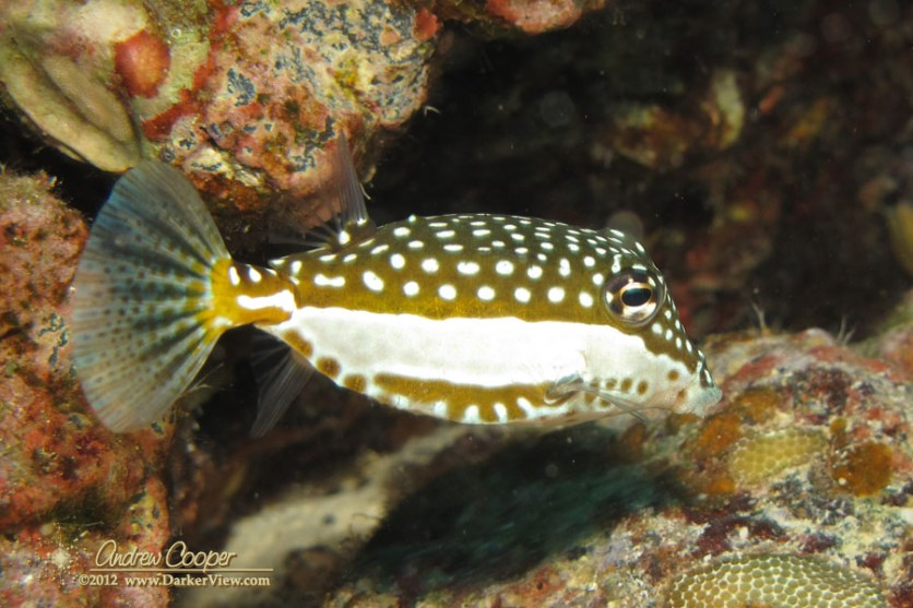 A female whitley's boxfish (Ostracion whitleyi) in the coral at 40' depth, Kaloko