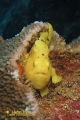 Commerson's Frogfish