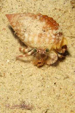 Pale Anemone Crab