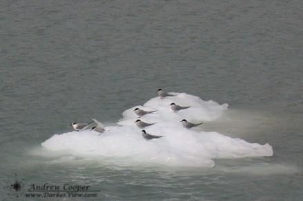 Artic Terns