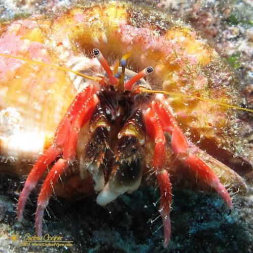 Laurent's Hermit Crab