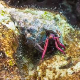 Haig's Hermit Crab