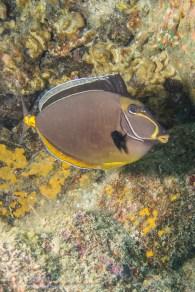Orangespine Unicornfish