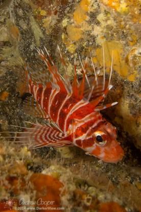 Hawaiian Red Lionfish