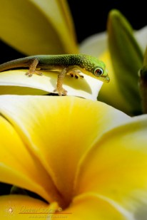 Gecko & Plumeria
