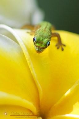 Gecko and Plumaria