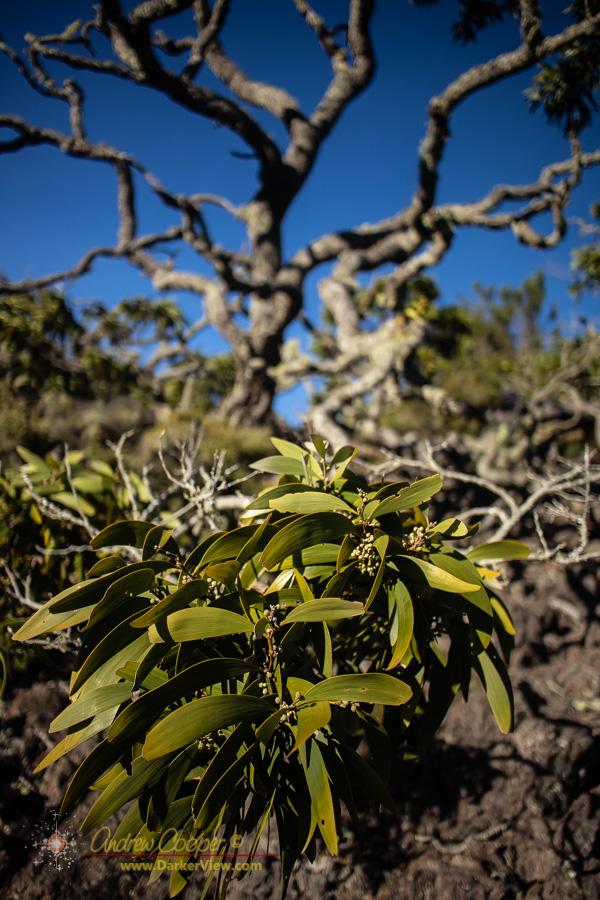 An old koa tree with real character on Mauna Kea