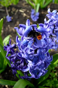 bumblebee in hyacinth