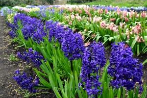 rare hyacinths