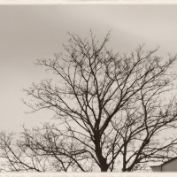 Antique Impressions: Tree Branches