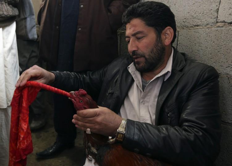 Афганец готовит его петух, прежде чем его бои в традиционном конкурсе петушиные бои в Кабуле 1 марта 2013.  (Омар Собхани / Reuters)