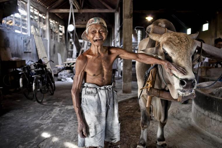 Kesdi Wiyono, 65, который работал в течение 20 лет на заводе Ми летек, стоит рядом с коровой на заводе в Srandakan деревни, Bantul 22 мая 2013 года в Джокьякарта, Индонезия. Ясир Feri Ismatrada взял на себя семейный бизнес производства Ми летек основанной его покойный дед. Одну тонну каменного цилиндр поворачивается на коров, чтобы молоть муку, технику редко можно увидеть сегодня. Ясир ставит большое значение на справедливое отношение к своим 40 сотрудникам управления прибыли ограничен на уровне 10%, приоритетности интересов персонала. Ми летек продаются за 8000 рупий или $ 80 центов за килограмм. (Ulet Ifansasti / Getty Images)