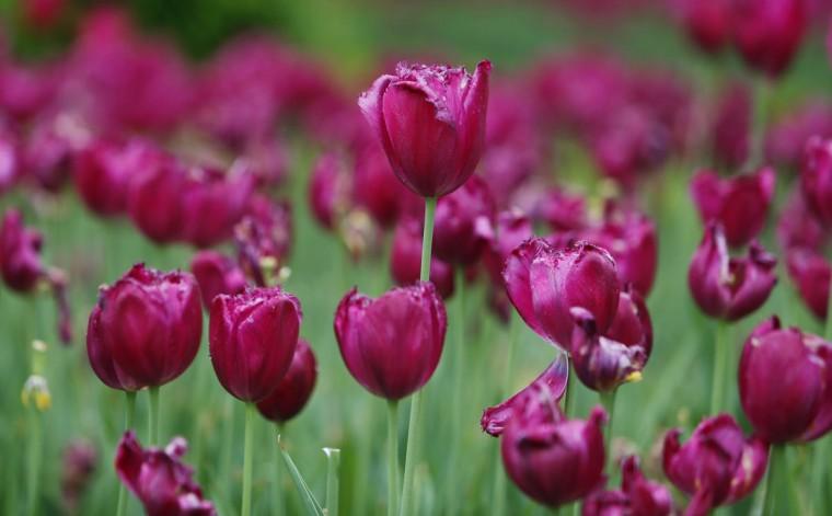 Общий вид поля тюльпанов в зоне паддока до 2013 Кентукки Дерби в Черчилл-Даунс в Луисвилле, штат Кентукки.  (Jerry Лай / США Спорт Сегодня)
