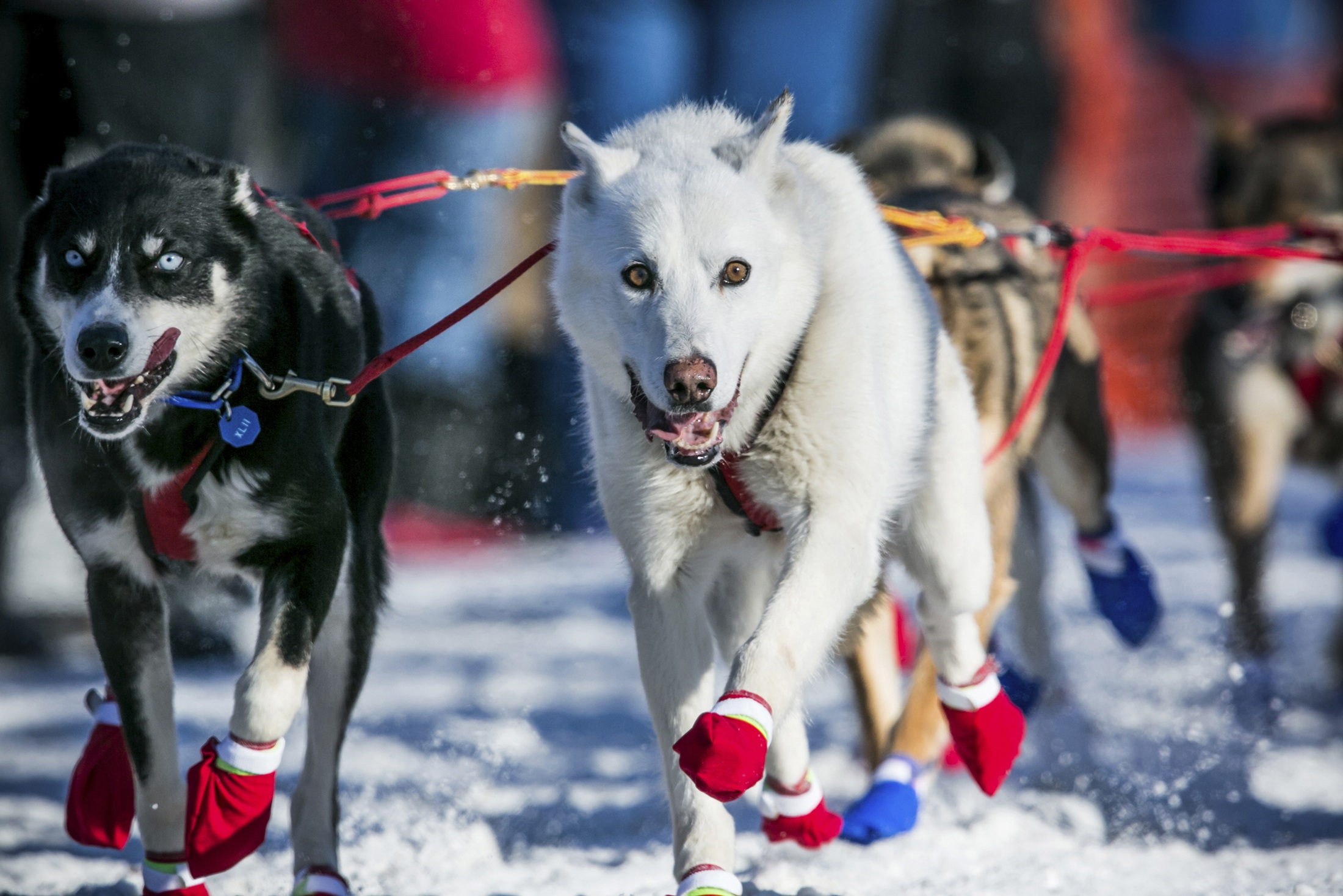 iditarod dog sled diagram fender jaguar wiring related keywords and suggestions for race 2014 video