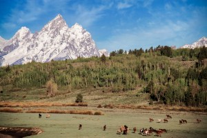 Grand Tetons, Running horses, Western Guest Ranch near Jackson Hole and Yellowstone