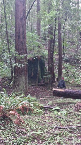 My friend sitting on a log, just to give an idea of the scale of the size of these trees.