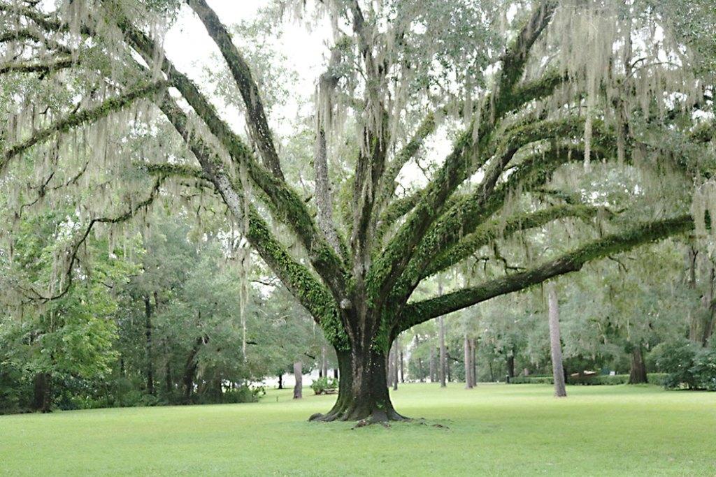 florida-spanish-moss-oak-tree