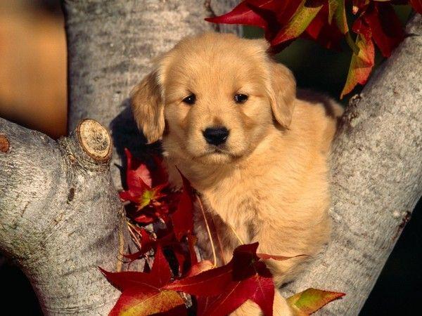 Fall Pug Wallpaper Fond Ecrans Chiens Page 2