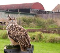 Owl & Hawk Experience, Barn Owl Centre, Hardwick - with Turner the Eagle Owl