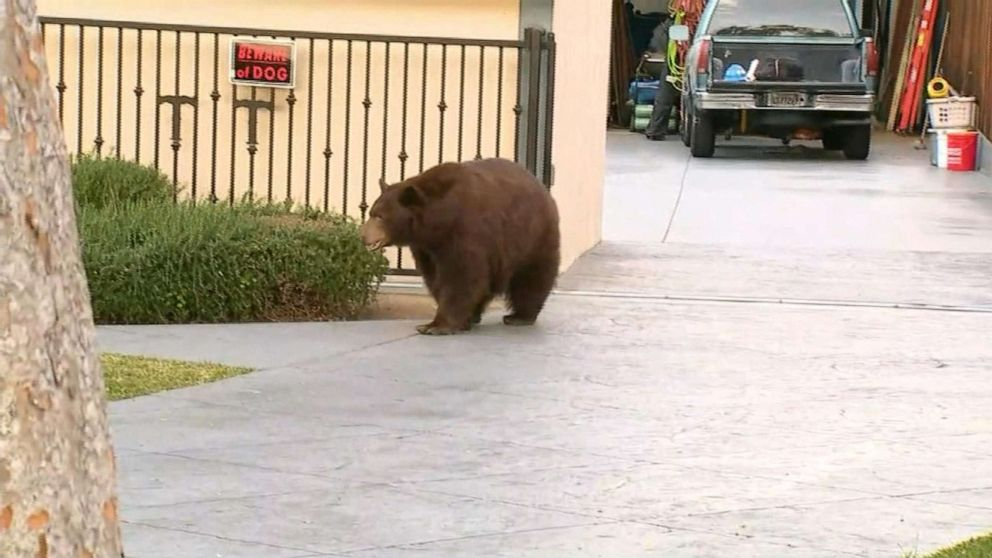 Black bear safely removed after stroll through Southern California neighborhood
