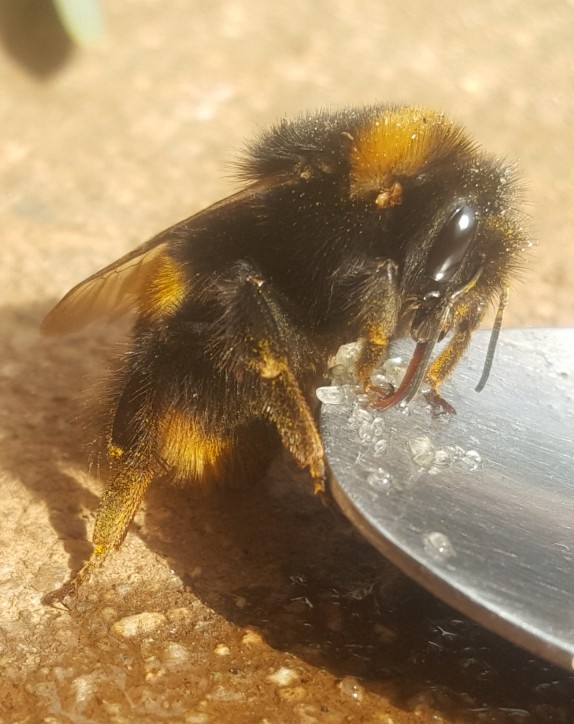 bee first aid - bee tongue on sugar water