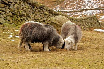 Pair of herdwick sheep