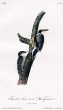 original first edition Audubon octavo bird prints, hand