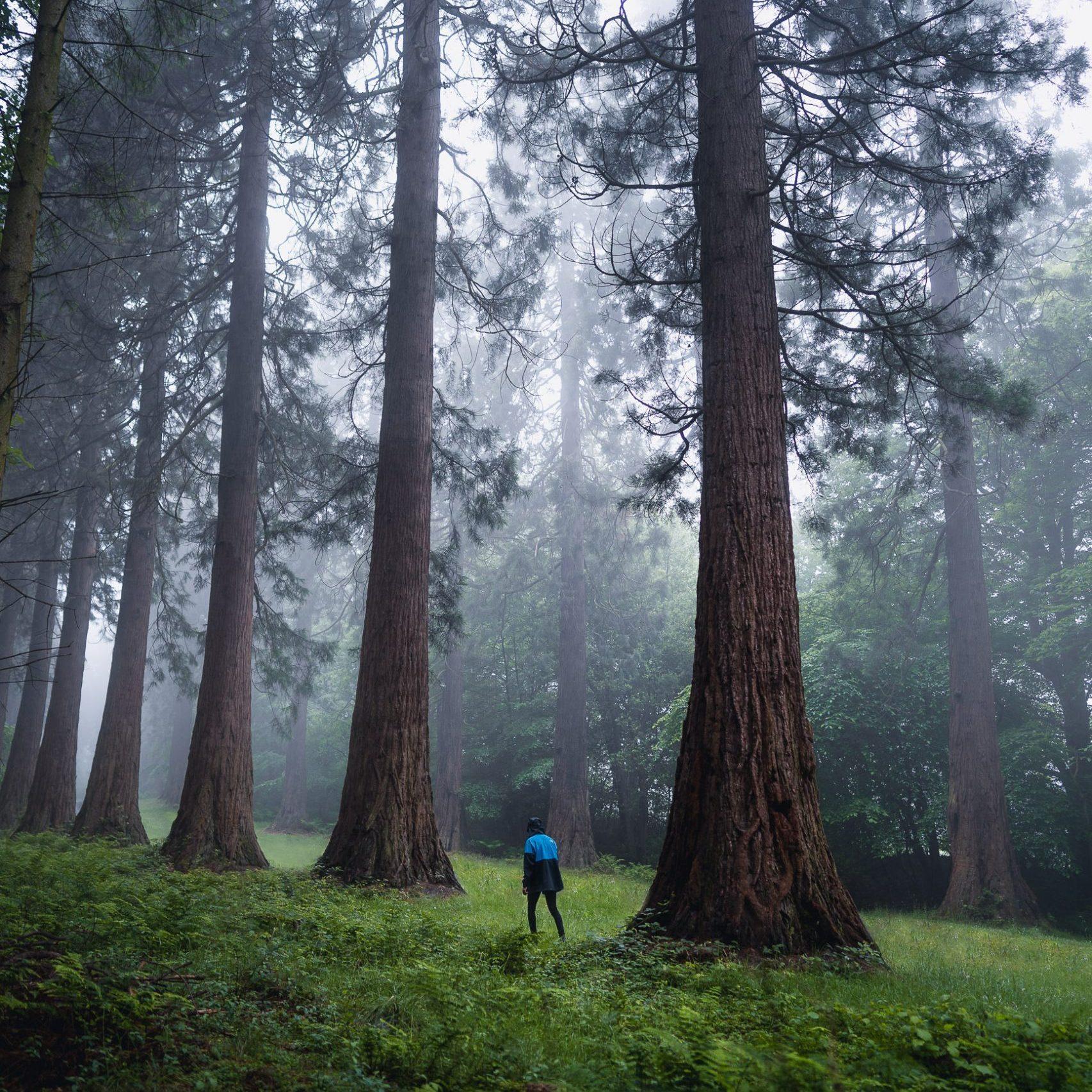 giant sequoias northumberland
