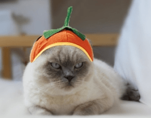 "I'm thinking this is a big ""No"" vote on dressing up your cat for Halloween."