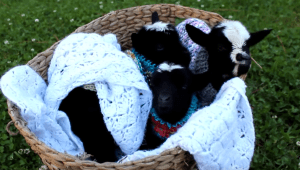 But wait, there's more! A basket of baby triplet goats in hand-knit sweaters tucked in with a crocheted blanket!
