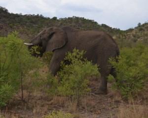 Wild elephant at Pilanesberg National Park, South Africa.