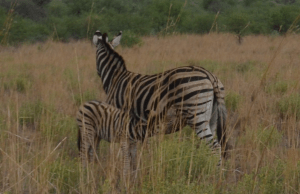 Baby zebra finds life source from mama. For American teens, wifi is like mother's milk.