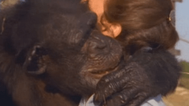 Beautiful moment as chimps reunite with woman who helped free them 25 years ago from a drug testing lab.