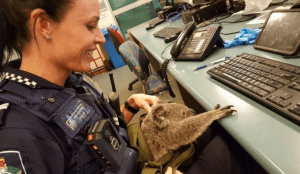 Police in Queensland, Australia find and rescue a baby koala in a backpack.