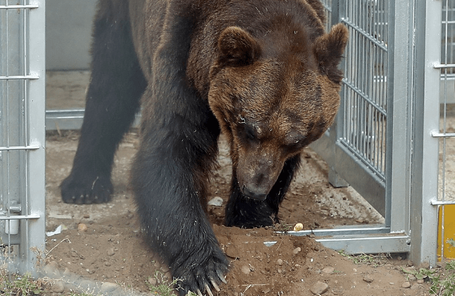 Brown Bears Tastes Freedom After Lifetime In A Cage