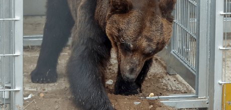 Kai the brown bear finally tastes freedom after a life spent living inside a cage.