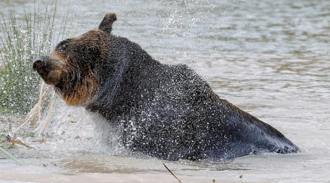 Kai, the brown bear is now free to discover joys like the fun of a good swim.