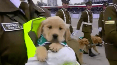 Golden Retriever puppies steal the show at a Chilean military parade.
