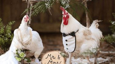 Two rescue chickens fall in love and have a chicken wedding.