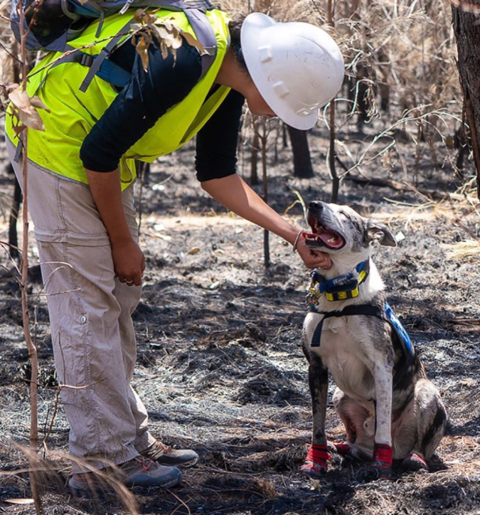 Saving koalas from dangerous Australian brushfires is a good day at work for Bear, the rescue dog.