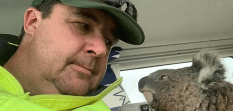 Tiny koala becomes surprise mate for Australian truck driver during the bush fires.