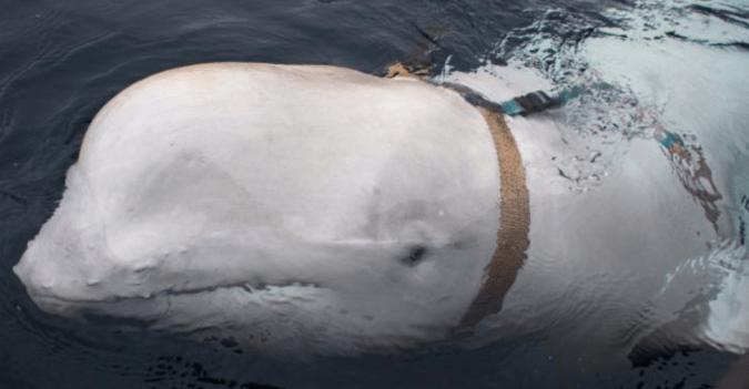 Spy whale sounds like a conspiracy theory until you see the photo of the beluga whale with a harness strapped around its body. I'm so glad some kind Norwegian fisherman cut it off.
