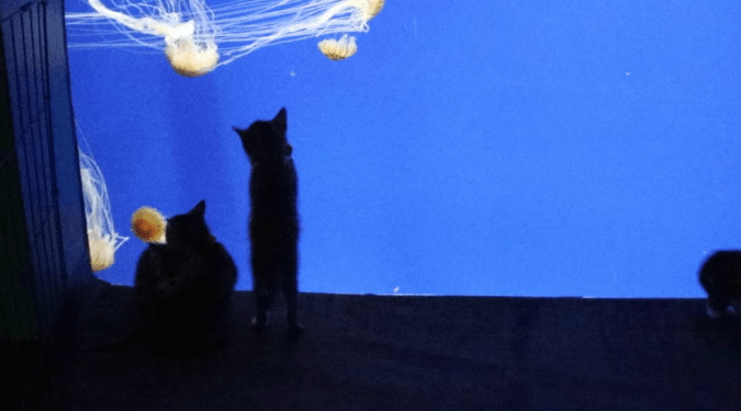 The jellyfish were a big hit with the rescue kittens during their visit to the Georgia Aquarium.