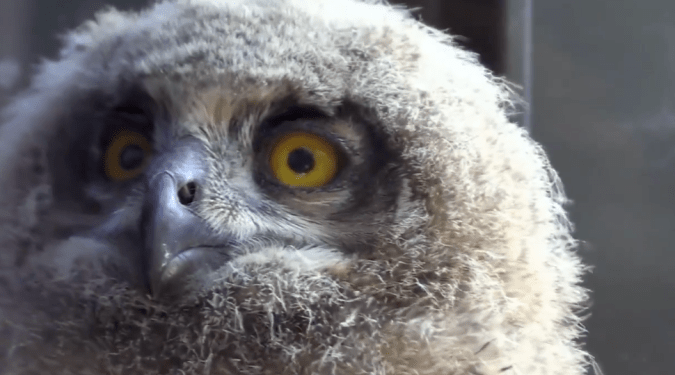 Rare baby owls grow up outside man's window in Belgium.