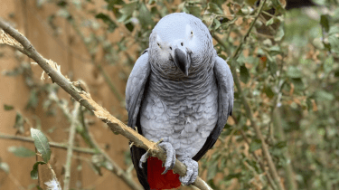 Five African gray parrots are separated at a British zoo after spewing too many profanities.