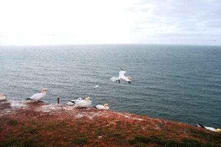 Helgoland - Lummen