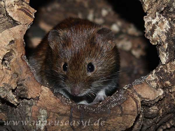 Zahme Rötelmäuse und Hantavirus | Mäuseasyl im Spessart