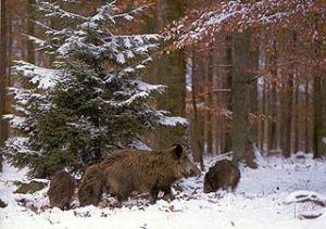 Pigs_xionia